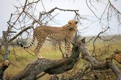 Gepard siedzi na drzewie w sawannie Kenja Tanzania africa Park Narodowy kmieć Maasai Mara fotografia royalty free
