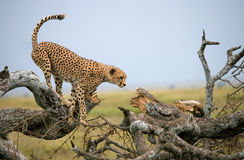 Gepard siedzi na drzewie w sawannie Kenja Tanzania africa Park Narodowy kmieć Maasai Mara obrazy stock