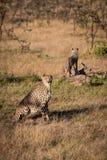 Gepard siedzi z lisiątko pozycją na beli obrazy royalty free