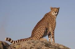 gepard skała Zdjęcia Royalty Free