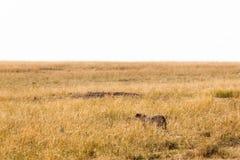 Gepard skrada się do małego impala Kenja, Afryka Fotografia Stock