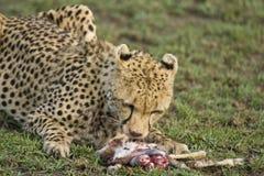 Gepard som äter ett nytt byte arkivbild