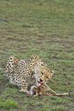 Gepard som äter ett nytt byte royaltyfria bilder