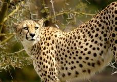 Gepard som förföljer hennes rov på savannet Fotografering för Bildbyråer