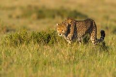 Gepard som förföljer uddeharen, Masai Mara, Kenya Arkivbild
