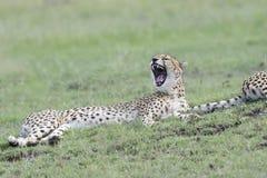Gepard som gäspar, Maasai Mara, Kenya Royaltyfri Bild