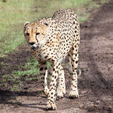 Gepard som går i den Serengeti nationalparken Royaltyfri Bild