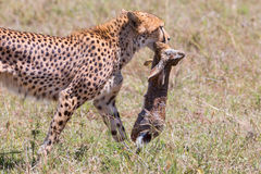 Gepard som går med den fångade uddeharen Royaltyfria Foton