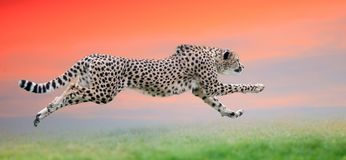 Gepard som körs på den härliga solnedgången