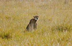 Gepard som sitter i busken som tillbaka ser royaltyfri foto