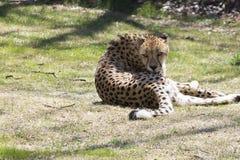 Gepard som slickar sig arkivfoto