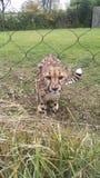 Gepard som smyga sig inom en bur på en zoo royaltyfria bilder