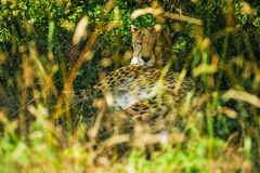 Gepard som sover under ett träd i skugga arkivbilder