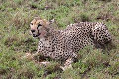 Gepard som äter mål Arkivfoto