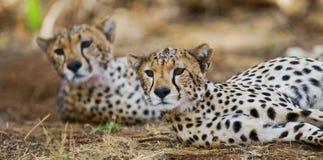 Gepard som två ligger i savannet kenya tanzania _ Chiang Mai serengeti Maasai Mara fotografering för bildbyråer