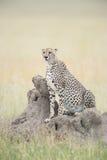 Gepard som ut ser Royaltyfria Bilder