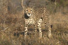 Gepard som ut ser Arkivbilder