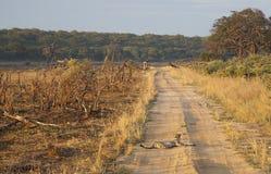 Gepard - Sonnenaufgang Lizenzfreies Stockbild
