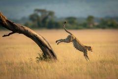 Gepard springt unten vom Baum in der Savanne stockbild