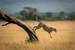 Gepard springt unten vom Baum in Richtung zum Gras stockbilder