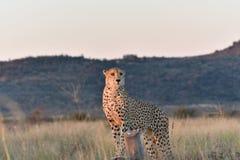Gepard-Stellung Lizenzfreie Stockbilder