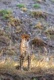 Gepard-Stellung Haupt an stockbilder
