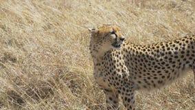 Gepard stoi i patrzeje z lewej strony w masai Mara zdjęcie wideo