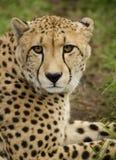 gepard trawa Zdjęcie Royalty Free