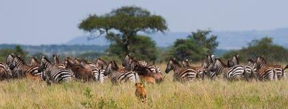 Gepard tropi dla stada zebry Kenja i wildebeest Tanzania africa Park Narodowy kmieć Maasai Mara obraz royalty free