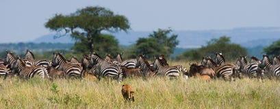 Gepard tropi dla stada zebry Kenja i wildebeest Tanzania africa Park Narodowy kmieć Maasai Mara obrazy royalty free