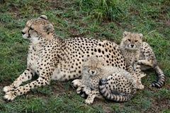 Gepard und Cubs Lizenzfreie Stockfotos