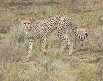 Gepard und ihr Junges Lizenzfreie Stockbilder