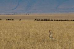 Gepard und Opfer Lizenzfreies Stockbild