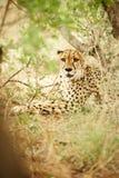 Gepard unter Bürste Lizenzfreie Stockbilder