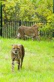 Gepard vänliga djur på den Prague zoo Royaltyfri Fotografi