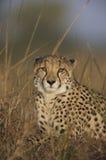 Gepard von der Frontseite Lizenzfreie Stockfotos