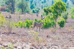 Gepard w łowieckiej pozyci przygotowywającej bieg dla przyczajenia Kruger park narodowy, Południowa Afryka Obraz Stock