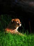 Gepard w świetle słonecznym Obrazy Royalty Free
