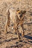 Gepard w Erindi gry intymnej rezerwie, Namibia, Afryka Obrazy Stock