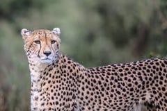 Gepard w Kruger parku narodowym Fotografia Royalty Free
