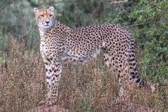 Gepard w Kruger parku narodowym Zdjęcie Royalty Free
