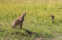 Gepard w Maasai Mara, Kenja Zdjęcie Stock