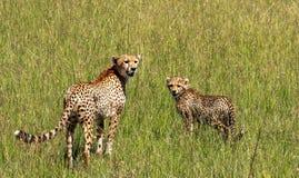 Gepard w Maasai Mara, Kenja Zdjęcie Royalty Free