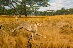 Gepard w obszarach trawiastych Fotografia Royalty Free