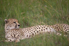 Gepard w Pełen wdzięku w Afrykańskich obszarach trawiastych zdjęcie stock