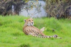 Gepard w pięknym Zachodniego Midland safari parku Zdjęcia Stock