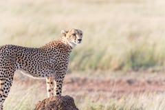 Gepard w Serengeti Zdjęcie Royalty Free