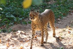 Gepard walking in zoo in germany in nuremberg stock photo