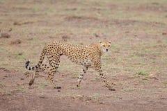 Gepard is watching you, safari in Kenya. Gepard is running stock photo
