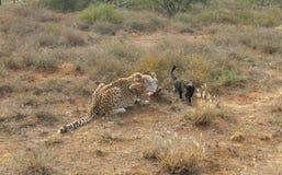 Gepard z domowym kotem Zdjęcie Stock
